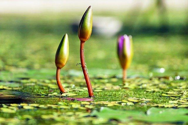 Lilie wodne do oczka
